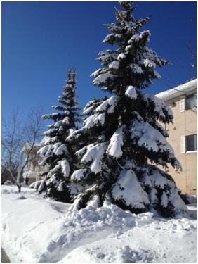 Snow-laden trees--photo from Laura Ring